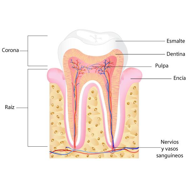 Atractivo Anatomía Del Diente Festooning - Anatomía de Las ...